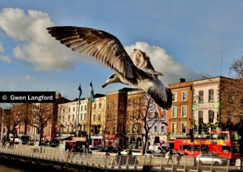 O'Connell Bridge Seagull