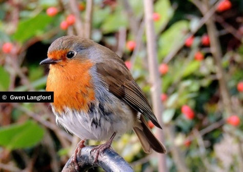 St. Stephens Green Robin
